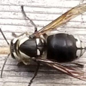 cropped-hornet-2.jpg