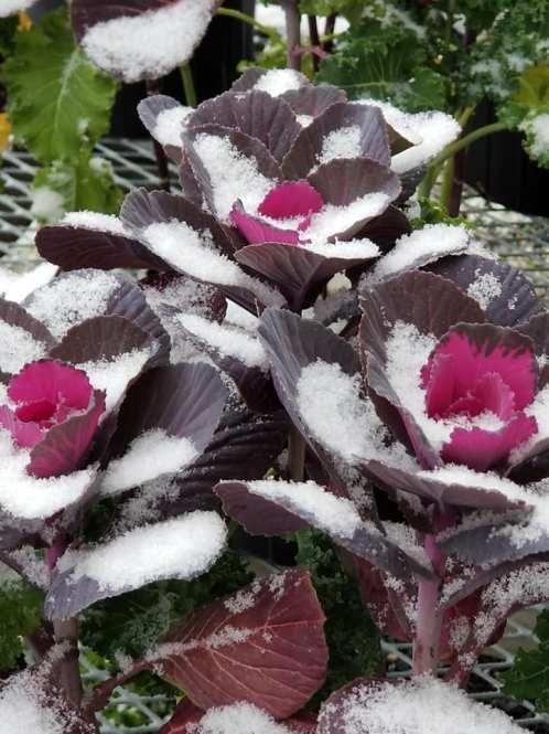 vicki snow flower